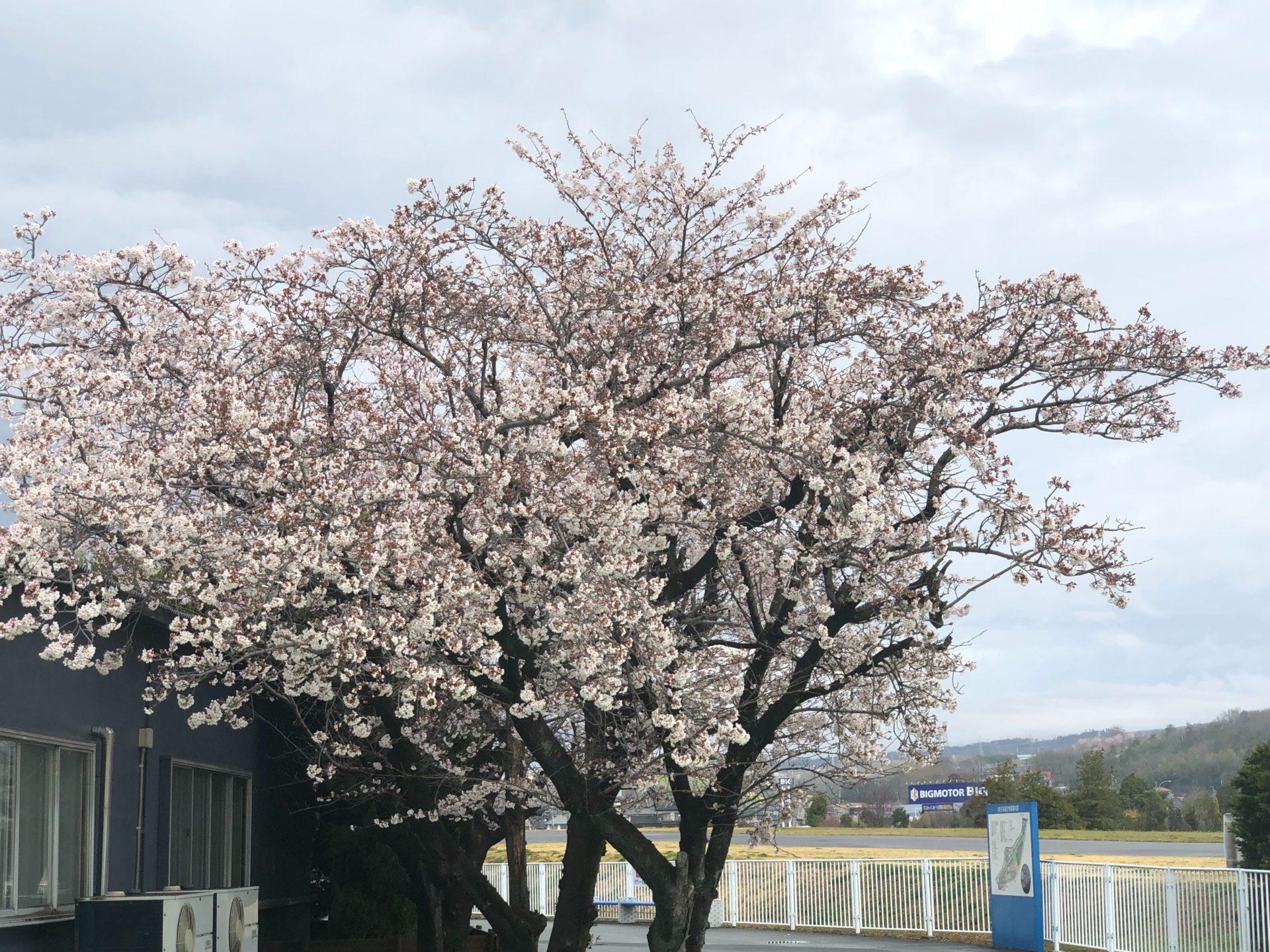 山梨キャンパス 桜 開花!!